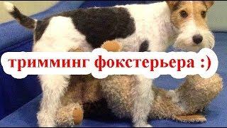 Тримминг собак. Фокстерьер