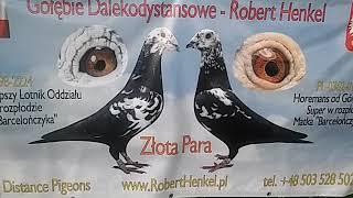 Henkel.Robert Gołębie.Tygrysy