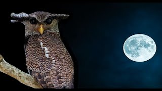 Relaxing Owl Sound -  Owls hooting / Night Forest