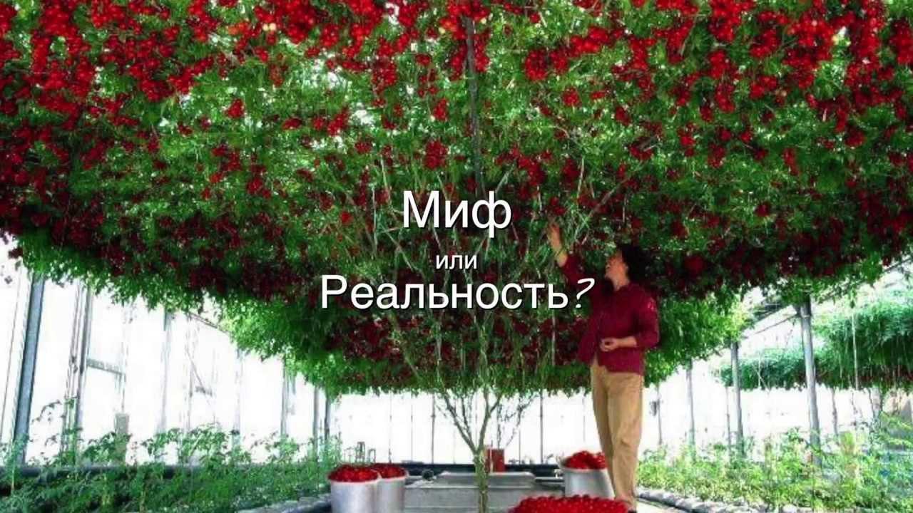 томатное дерево фото