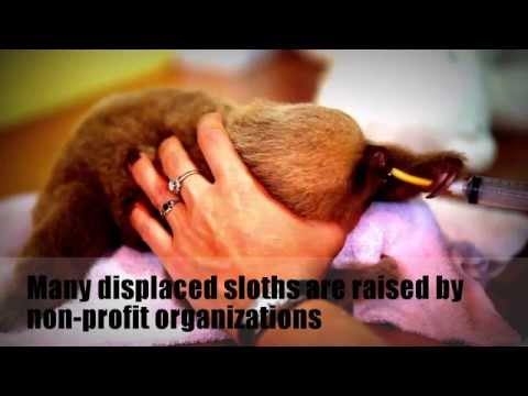 Rainforest Animals: Sloths Endangered...MUST SEE