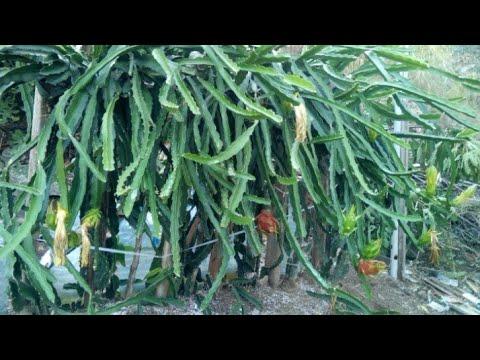 ejder meyvesi yetiştirmek isteyen arkadaşlar için detaylı anlatım