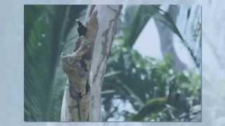 Burung Tiong Mas (Hill Myna)