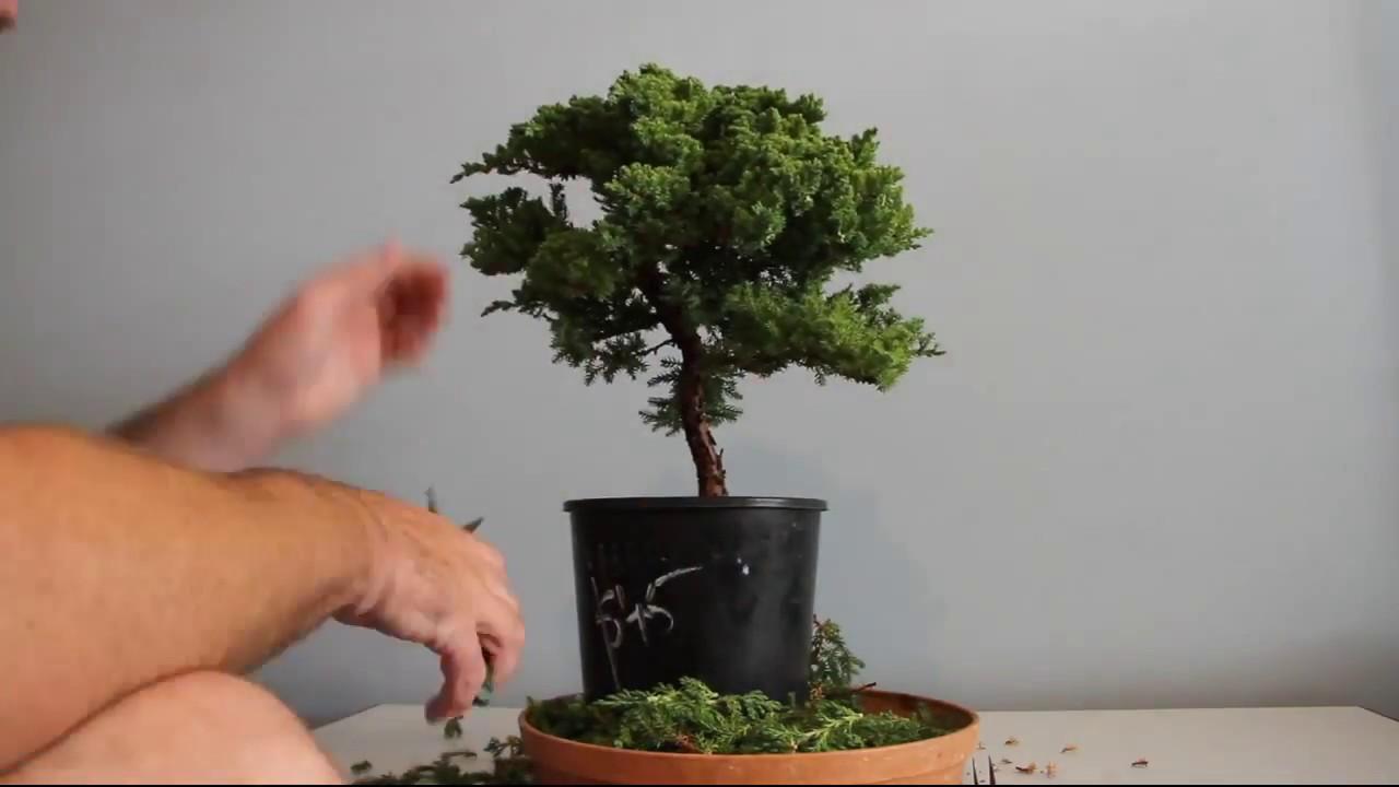 Juniper Bonsai Time Lapse Youtube Wiring