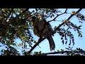 Fêmea de Trinca ferro marcheando e chamando na natureza para endoidar seus trincas