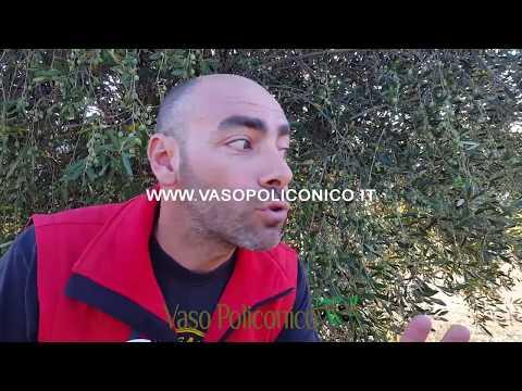 Calendario Trattamenti Olivo Puglia.Corso Potatura Olivo Calendario 2018 2019
