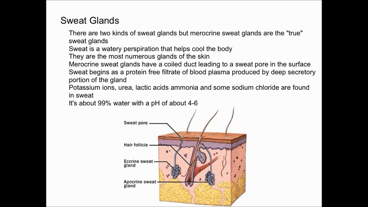 Sweat Glands And Sweat Youtube