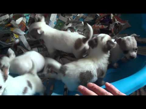 BLUE CHIS TEACUP CHIHUAHUA PUPPIES BLUE AND WHITE LAVENDER   MICRO POCKET PUPPY TX