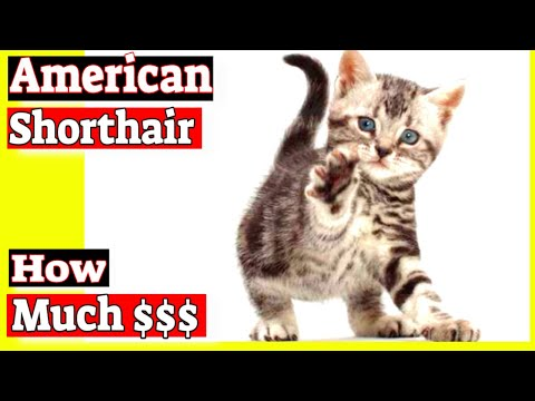 How much does an American shorthair cat cost?