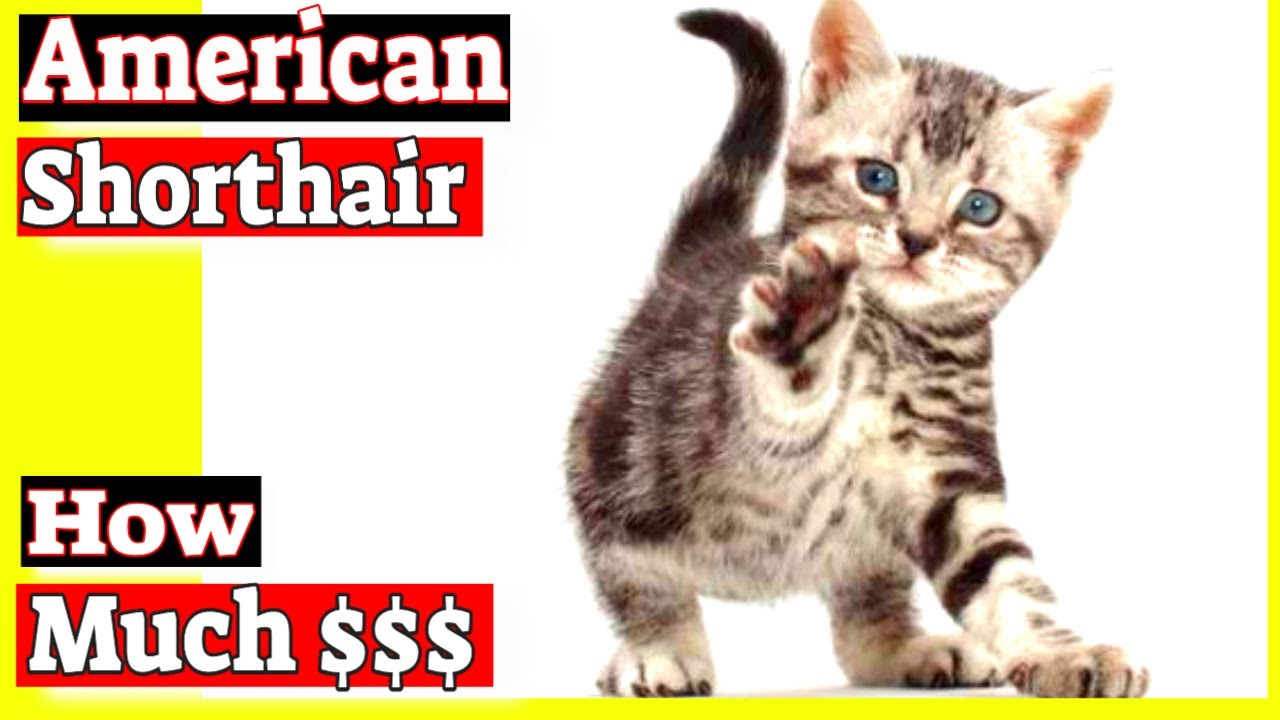 How much does an American shorthair cat cost? - YouTube