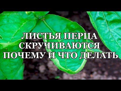 ЛИСТЬЯ ПЕРЦА СКРУЧИВАЮТСЯ  ПОЧЕМУ И ЧТО ДЕЛАТЬ | скручиваются | желтеют | болезни | скручи | почему | перцев | листья | перца | кто | ест
