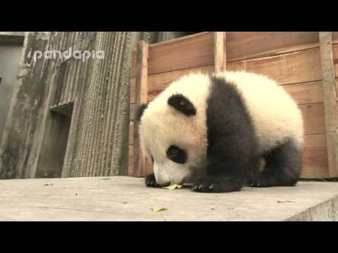 panda cub finds an interesting place