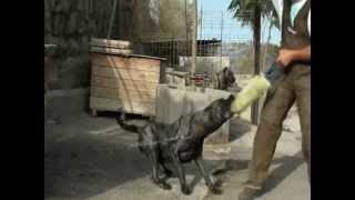 PCE e.V. Kennel de la Legion Kennel  de Tauco Perro de Presa Canario