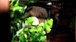 Avicularia avicularia L6
