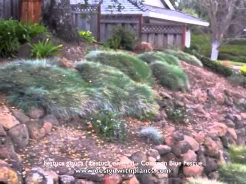 festuca glauca ( festuca cinerea) - common blue fescue - youtube, Gartenarbeit ideen