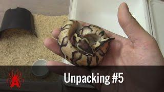 Unpacking #5  P. regius Pastel het. Pied