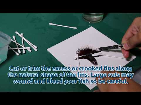 Betta Fish for Show How to Groom Bettas A Guide to Grooming your Fighting Fish Pets