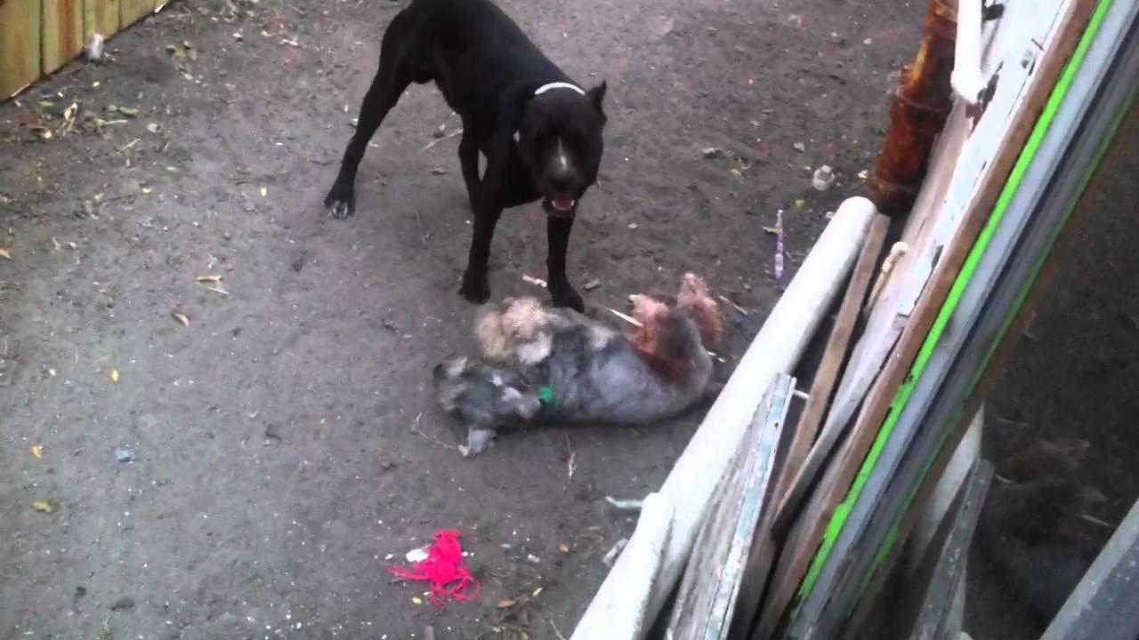 Schnauzer gigante vs rottweiler