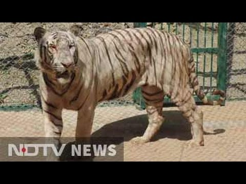 White Tiger Finds Home In Udaipur Zoo. But He Understands Only Tamil