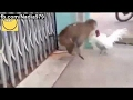 funny videos - funny vines - funny valentines day cards - funny monkey attacks on hen