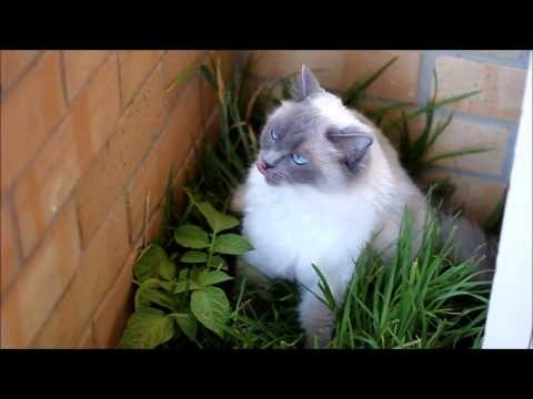 Ragdoll Cat Lucy - 2 Years Old