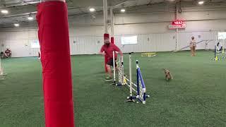 Border Terriers doing Agility