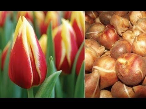 Как хранить тюльпаны зимой в домашних условиях в квартире