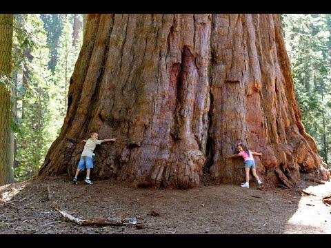 США, парк Секвоя -гигантские деревья. Почему лесной пожар полезен?