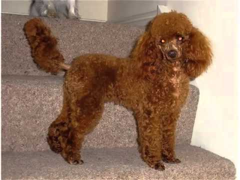 Miniature Poodle Dog Breed | Cute Dog Picture Collection Of Breed Miniature Poodle
