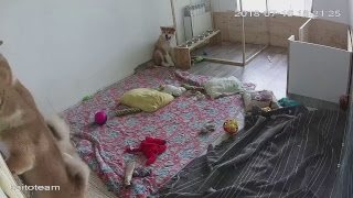 ЩЕНКИ #АКИТА ОНЛАЙН | #AKITA PUPPIES ONLINE | PET 犬 | DAY 92