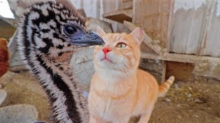 Imagine coming face to face with an emu
