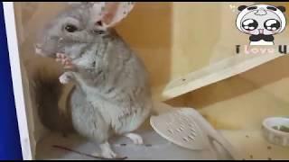 Шиншилла Чили психует, купается, обожает почесушки и погрызушки! Приколы от Шуши