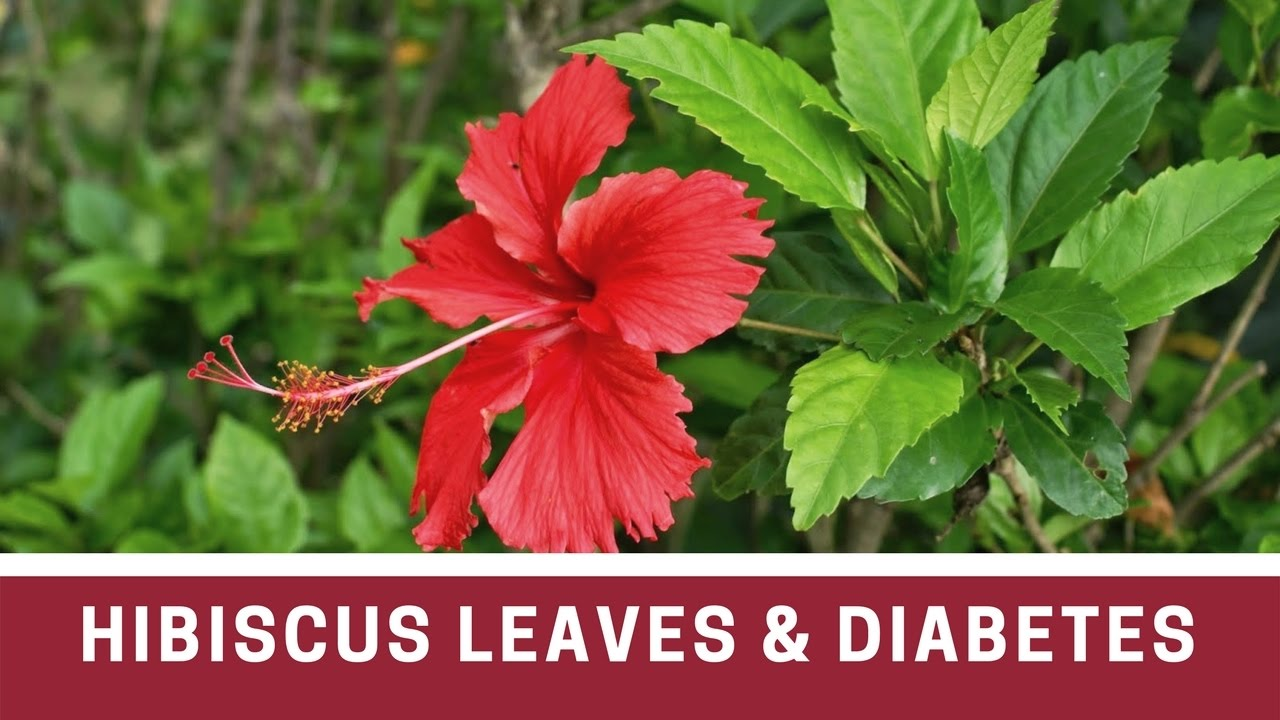 How to use hibiscus leaves flowers for hair growth – hair loss control with Hibiscus