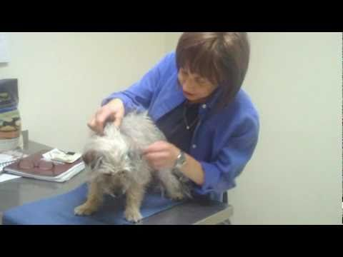Animal Chiropractor Sherry Gaber, DC adjusting a Dog