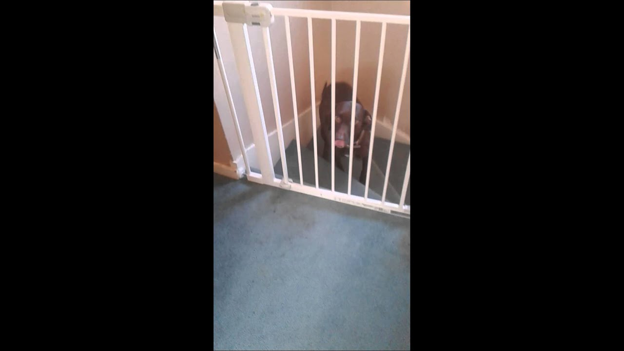 Dog Jumps Stair Gate : )