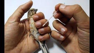 تعرف على التلقيح الإصطناعي للطيور !