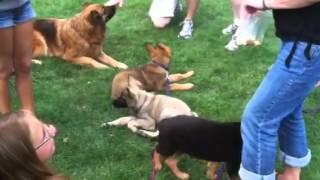 German Shepherd Puppy Socialization