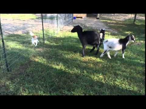 Dog Meets the Goats