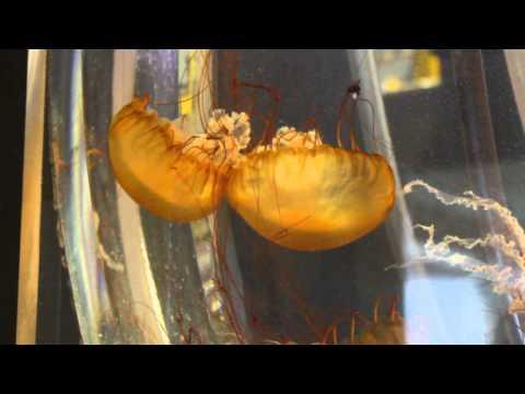 MVI 2168  Sea nettles  Chrysaora fuscescens
