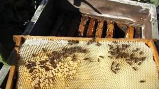 ошибки пчеловода! ( наращивание пчелы в зиму и сила семье осенью - часть 1 )