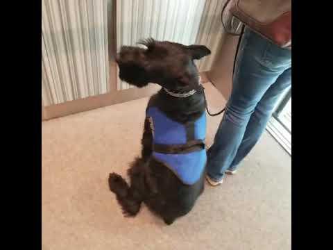 "Giant Schnauzer ""Kelvin"" Training & Development Dog For Sale"