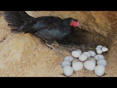 Primitive Technology: Two Brothers Found A chicken Nest - Run n Play With chicken in the jungle