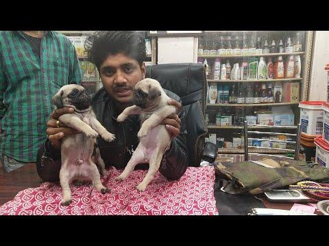 Saurabh dog kennel pug call 7275863266 / 9140752208