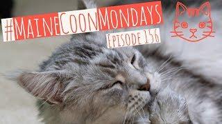 #MaineCoonMondays – Episode 156