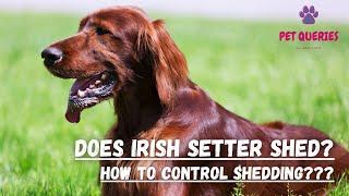 Does irish setter shed?   How to control shedding?   #petqueries
