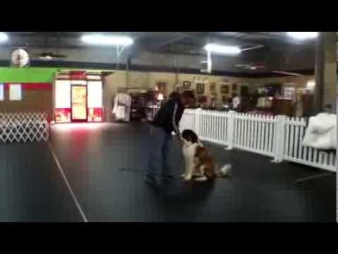 Jax Ford, St. Bernard Puppy, Therapy Dog Training Charlotte North Carolina