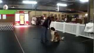 Jax Ford, St. Bernard Puppy, Therapy Dog Training Charlotte North Carolina