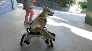 コーギーRYU様のクララカート2輪車 犬の車いす工房クララワークスhttp:...