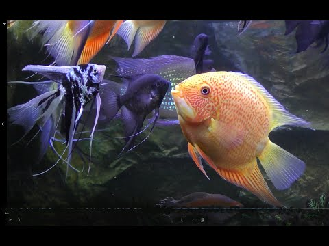 My Favorite: 200 Gal. Amazon Biotope (American Cichlids) W Dither Fish..