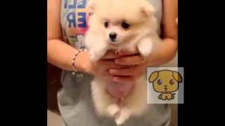 Cute Pomeranian - Air Swim Funny Video